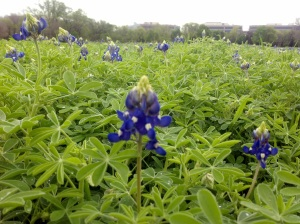 Bluebonnets near Frito Lay HQ 3